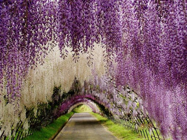 wisteria flower tunnel in japan 2